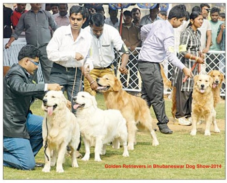 Golden Retrievers in Bhubaneswar Dog Show-2014