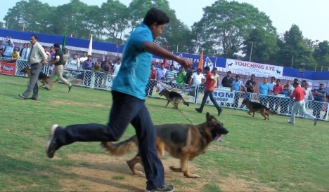 GSDs in Bhubaneswar Dog Show - 2014