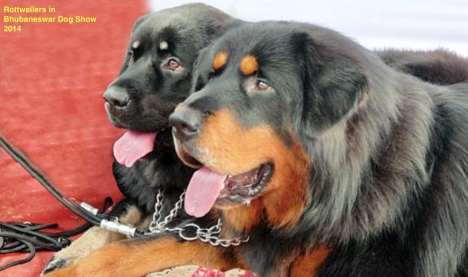 Rottweilers in Bhubaneswar Dog Show-2014